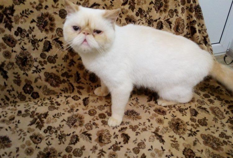Кошка - экзот ищет хозяев
