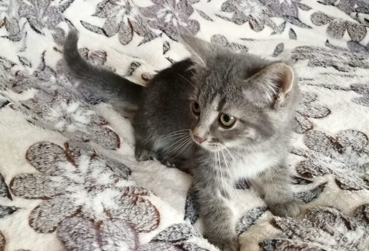 Серый котенок ищет дом