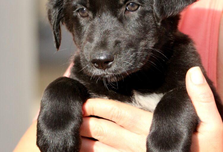Черный щенок ищет дом